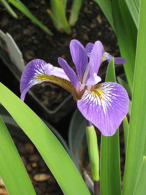 10 popular pond plants aquascape inc for Plants that grow around ponds