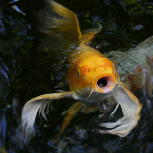 Basic facts about butterfly koi