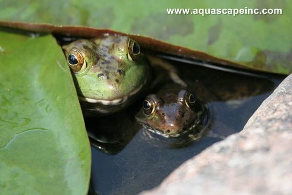 Frog friends hide under a water lily.