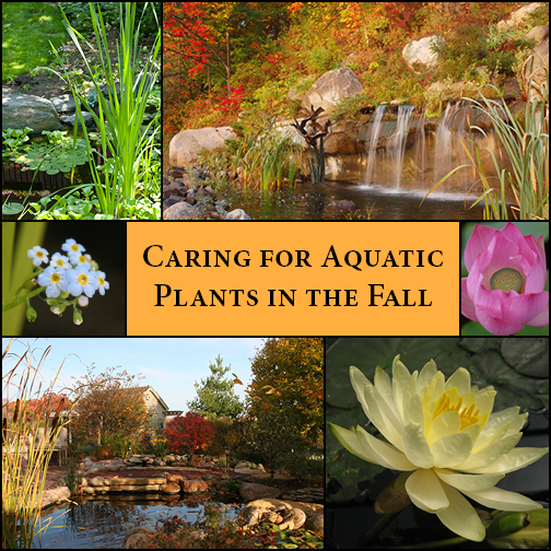 Caring for Aquatic Plants in the Fall - Aquascape