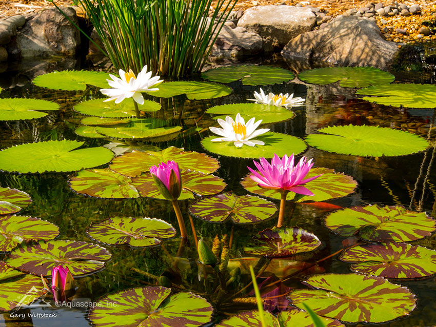 Tropical Water Lilies in Aquascape Pond