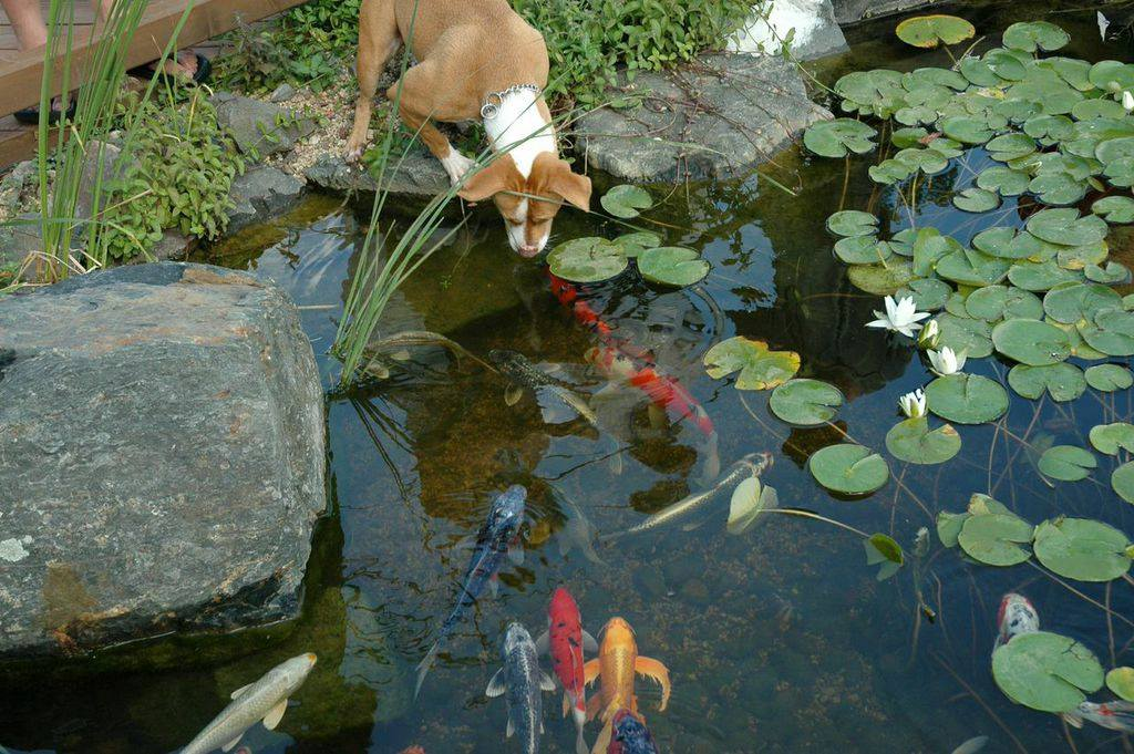 Deck and Patio Dog Enjoying Koi Pond