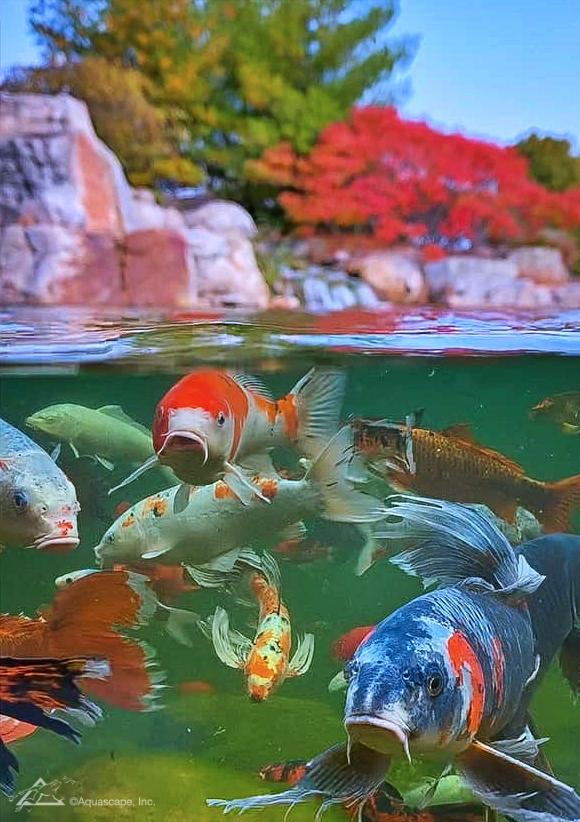 Underwater Photo of Koi and Pond Fish