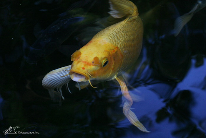 Butterfly Koi in Pond