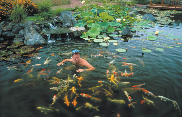 Imagine swimming in clear water in your own backyard, surrounded by all types of beautiful koi.