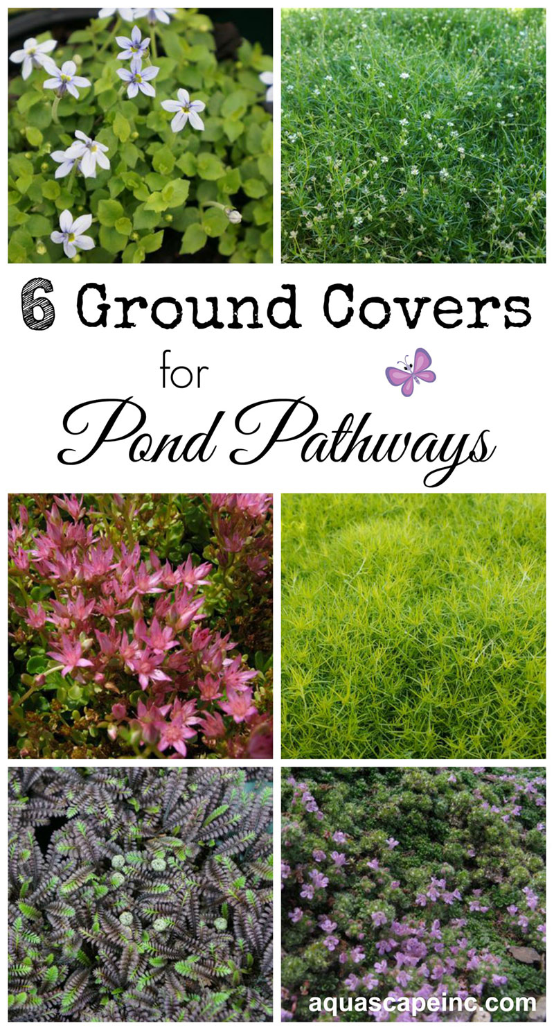 Ground Covers for Pond Pathways