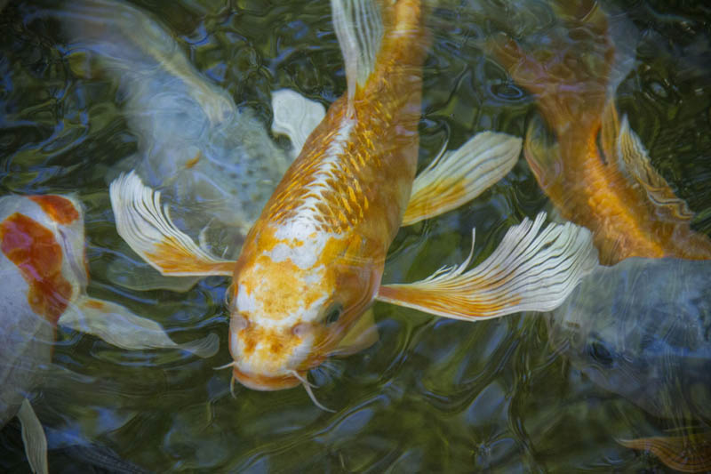 Butterfly Koi in an Aquascape Pond