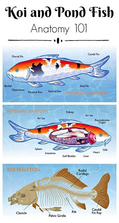 Koi and Pond Fish Anatomy Chart
