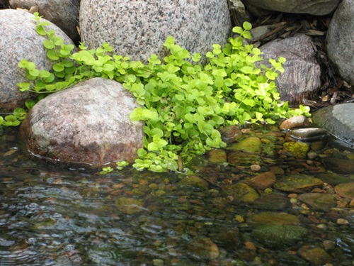 Creeping Jenny - also known as Moneywort