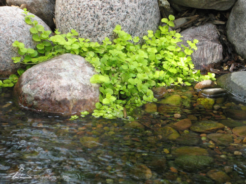 10 popular pond plants aquascape inc for Using pond water for plants