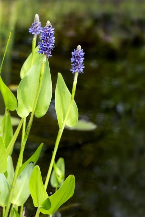 Blooming Purple Pickerel Weed
