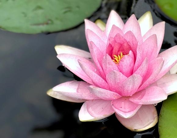 Pink Beauty Waterlily