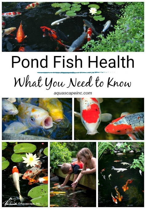 What You Need to Know about Pond Fish Health