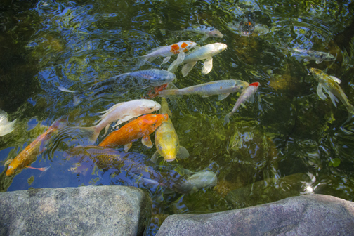 Pond Fish - Aquascape