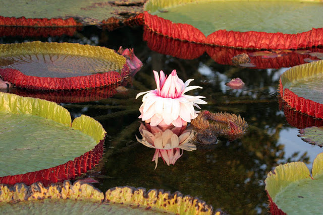 The regal Victoria Waterlily