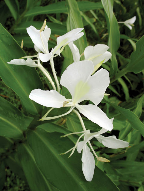 Got shade? Then you'll want to get White Butterfly Ginger, which is just as fragrant as a Gardenia.