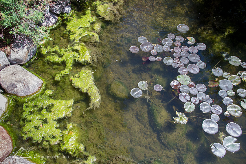 Remove algae from your pond