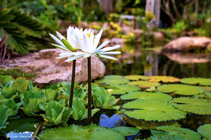 White Tropical Waterlily in Australian Pond