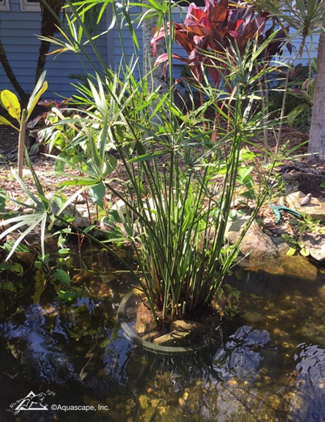 Umbrella plant is a great choice for a pond or water garden
