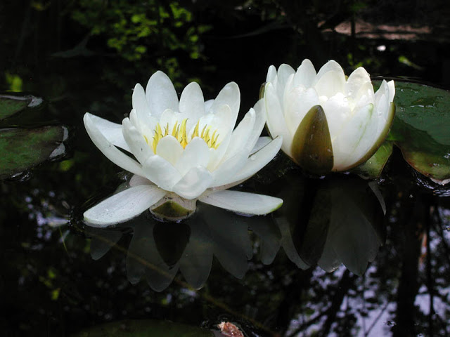 White waterlilies in water garden