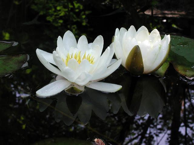 White waterlilies in water garden